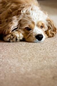 carpet-fleas